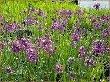 Allium cernuum 'Hidcote' | Amerikaanse look, Sierui, Look | Nickender Lauch