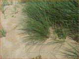 Ammophila arenaria   Helmgras (inlands), Helm   Gewöhnlicher Strandhafer