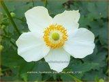 Anemone hupehensis 'Pretty Lady Maria' | Herfstanemoon, Japanse anemoon, Anemoon | Herbstanemone