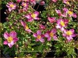 Anemone hupehensis 'Red Riding Hood' | Herfstanemoon, Japanse anemoon, Anemoon | Herbstanemone