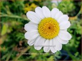 Anthemis carpatica 'Karpatenschnee' | Kamille | Weiße Kamille
