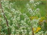 Artemisia vulgaris | Bijvoet, Alsem | Gewöhnlicher Beifuß