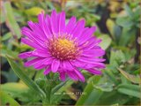 Aster 'Anneke' | Aster | Aster