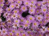 Aster 'Herbstgruß vom Bresserhof' | Aster | Aster