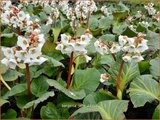 Bergenia 'Jelle'   Schoenlappersplant, Olifantsoor   Bergenie