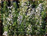 Calamintha nepeta | Bergsteentijm, Steentijm | Kleinblütige Bergminze
