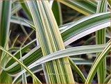 Carex 'Feather Falls' | Zegge | Segge