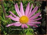 Chrysanthemum 'Clara Curtis'   Tuinchrysant, Chrysant   Chrysantheme