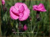 Dianthus gratianopolitanus 'Dinetta Pink' | Rotsanjer, Anjer | Pfingstnelke