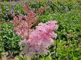 Filipendula rubra 'Venusta' | Moerasspirea, Spirea | Prärie-Mädesüß