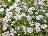 Gypsophila repens 'Filou White'   Kruipend gipskruid, Gipskruid   Kriechendes Schleierkraut