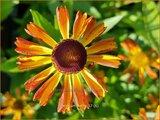 Helenium 'Betty' | Zonnekruid | Sonnenbraut