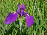 Iris ensata | Japanse iris, Iris, Lis | Japanische Sumpf-Schwertlilie