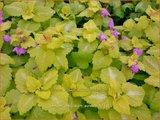 Lamium maculatum 'Aureum' | Gevlekte dovenetel, Dovenetel | Gefleckte Taubnessel