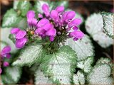Lamium maculatum 'Red Nancy' | Gevlekte dovenetel, Dovenetel | Gefleckte Taubnessel