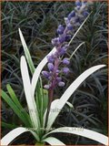 Liriope muscari 'Okina' | Leliegras | Lilientraube