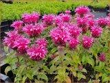 Monarda 'Cranberry Lace' | Bergamotplant, Indianennetel | Indianernessel