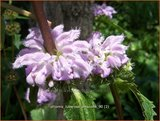"""Phlomis tuberosa 'Amazone'   Brandkruid   Knollen-Brandkraut """