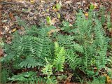Polypodium vulgare | Eikvaren | Engelsüß