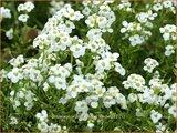 Pritzelago alpina 'Crystal Carpet' | Gemskers | Gämskresse
