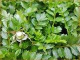 Rubus taiwanicola | Taiwanese framboos, Framboos | Taiwanesische Himbeere