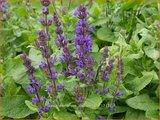 Salvia nemorosa 'Blaukönigin' | Bossalie, Salie, Salvia | Steppensalbei
