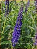 Veronica longifolia 'Marietta' | Lange ereprijs, Ereprijs | Langblättriger Ehrenpreis