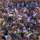 Viola labradorica | Labradorviooltje, Viooltje | Labrador-Veilchen