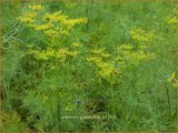 Anethum graveolens   Dille   Dill