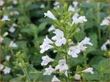 Calamintha nepeta 'Marvelette White' | Bergsteentijm, Steentijm | Kleinblütige Bergminze