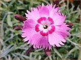 Dianthus allwoodii   Anjer   Allwoods-Federnelke