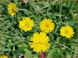 Hieracium pilosella | Muizenoor, Havikskruid | Kleines Habichtskraut
