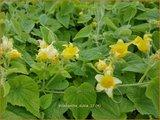 Thladiantha dubia   Rode kiwikomkommer, Pruimkomkommer   Quetschgurke