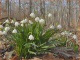 Leucojum vernum | Lenteklokje, Narcisklokje | Frühlings-Knotenblume