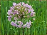 Allium 'Pink Planet'   Sierui, Look   Lauch