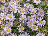 Aster ageratoides 'Eleven Purple' | Aster | Ageratum-ähnliche Aster