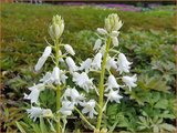 Hyacinthoides hispanica 'White' | Spaanse boshyacint, Wilde hyacint | Spanisches Hasenglöckchen