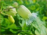 Silene fimbriata | Gewimperde blaassilene, Lijmkruid | Gefranstes Leimkraut