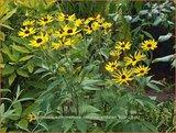 Rudbeckia subtomentosa 'Loofahsa Wheaton Gold' | Zonnehoed | Schwachfilziger Sonnenhut