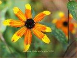 Rudbeckia triloba 'Prairie Glow'   Zonnehoed   Dreilappiger Sonnenhut