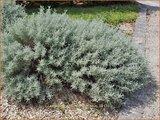 Santolina chamaecyparissus   Heiligenbloem, Cipressenkruid, Olijvenkruid   Silbriges Heiligenkraut