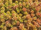 Sedum album 'Coral Carpet' | Wit vetkruid, Vetkruid | Weißblühender Rotmoos-Mauerpfeffer