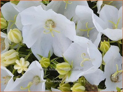 Campanula carpatica 'Weiße Clips'   Karpatenklokje, Klokjesbloem   Karpaten-Glockenblume