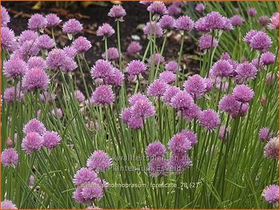 Allium schoenoprasum 'Forescate' | Bieslook, Look | Schnittlauch