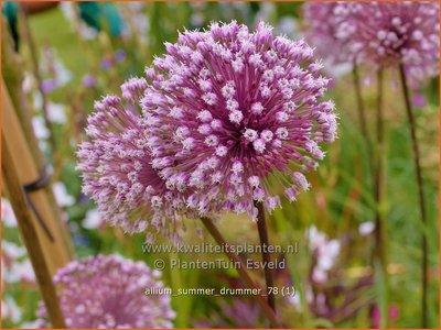 Allium 'Summer Drummer' | Sierui, Look | Lauch