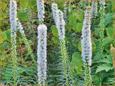 Liatris spicata 'Alba' | Prachtschaarde, Knopige slangenwortel | Ährige Prachtscharte