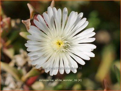 Delosperma 'White Wonder' | IJsbloempje, IJsplant | Mittagsblume