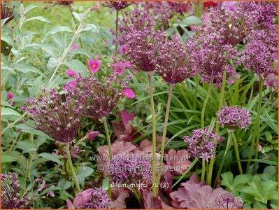 Allium 'Miami' | Sierui, Look | Lauch