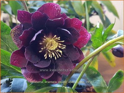 Helleborus orientalis 'Double Ellen Purple' | Kerstroos, Lenteroos, Vastenroos, Nieskruid | Lenzrose