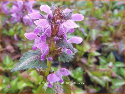 Lamium maculatum 'Roseum'   Gevlekte dovenetel, Dovenetel   Gefleckte Taubnessel